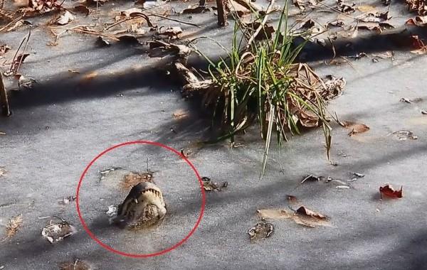 因應湖面結冰的極端天氣,鱷魚發展出將吻部抬升超出水面的行為。(擷取自「沙洛特河沼澤公園」臉書粉專)