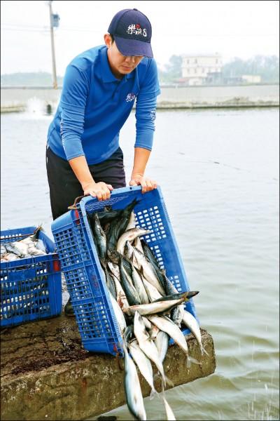 餵食日清晨6點,養殖業者就需投擲大量的鯖魚、竹莢魚等餵食龍膽石斑。(記者潘自強/攝影)