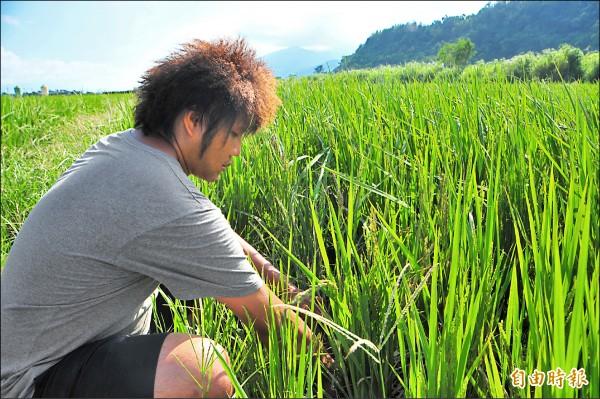 花蓮農民謝銘鍵的稻田出現劃分水利會灌區內外的「一田兩制」,灌區外農田淹水無處求助,一度只能拍影片自嘲喊苦。(資料照,記者花孟璟攝)