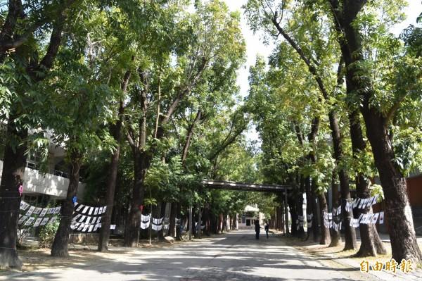阿蓮國中200多名應屆畢業生學拍照初體驗,處女作在校園桃花心木大道上展覽。(記者蘇福男攝)