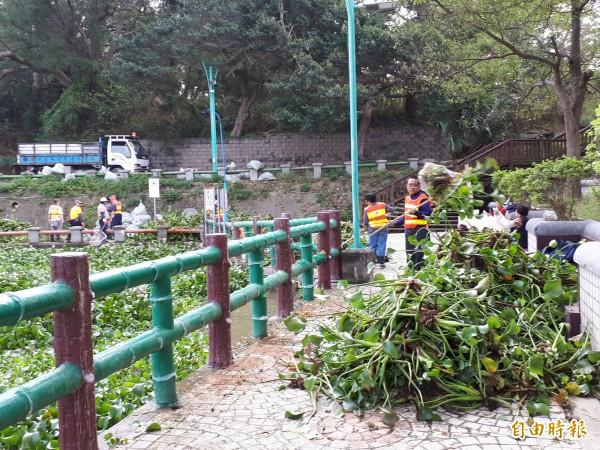新竹市青草湖因水質優養化情況嚴重,整個湖面佈滿布袋蓮,市府派出20多人打撈,依然清不勝清,每天都清出700袋布袋蓮,預計要清1個星期才可能清完。(記者洪美秀攝)