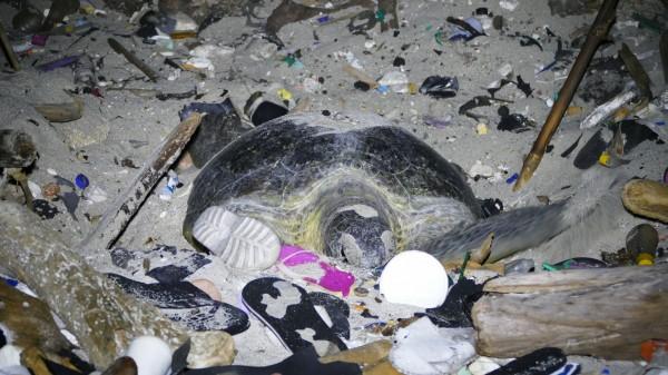 綠蠵母龜在垃圾中產卵。(記者陳彥廷翻攝)