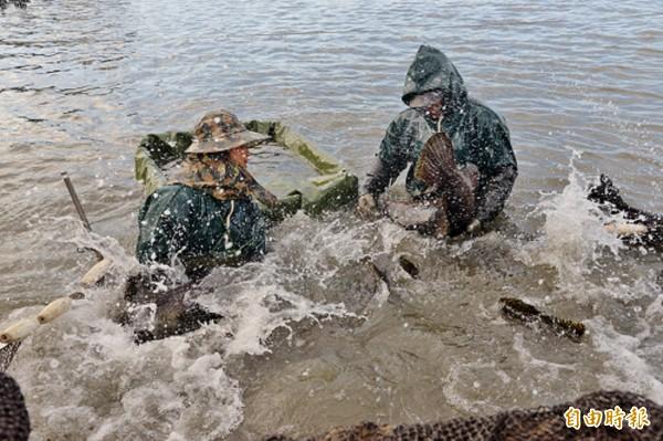 捕捉龍膽石斑工程浩大,體型大的龍膽石斑非常有力,所以工人也需要有相當的體力和耐力,特別是魚體在水中擺動時濺起的水花之大,連站在岸邊的人都無法倖免!(記者許麗娟攝)