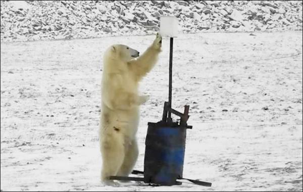 1頭北極熊對科研裝置大感好奇,不僅人立還伸爪撥弄,像極了人們在進行自拍的動作。(擷取自《西伯利亞時報》)