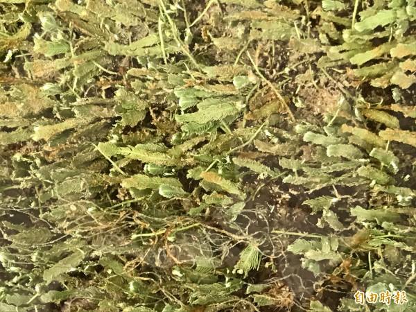 羽毛蕨藻像是鋪在溝底的綠地毯。(記者洪臣宏攝)