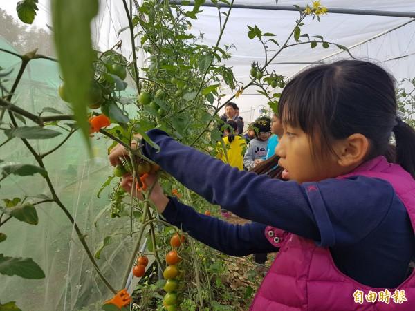 新東國小學童今日到番茄園收成,有些學童進了網室內,還等不到老師一聲令下,就開始採收,就自顧捉了身旁一顆小番茄往嘴裡塞。(記者王涵平攝)