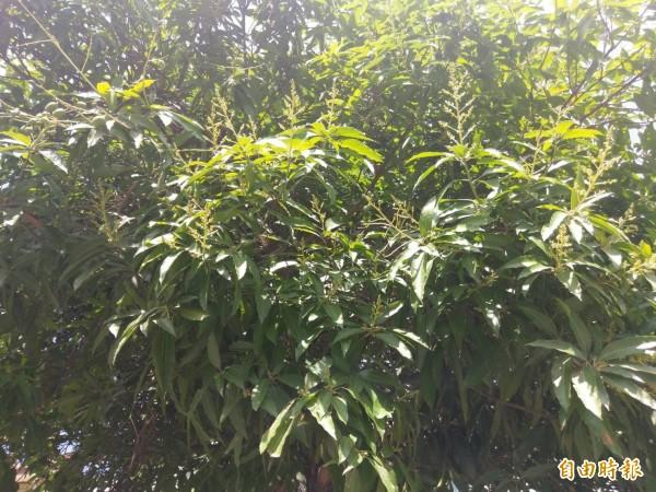 芒果花穗已漸開,有果農擔心若今年又盛產,價格恐崩盤。(記者黃文瑜攝)