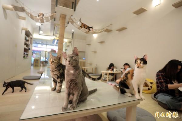 走進「貓欸Camulet」有如來到一座大型貓咪遊樂場,可以看到貓咪們爬上爬下,與牠們零距離用餐。(記者陳宇睿攝)