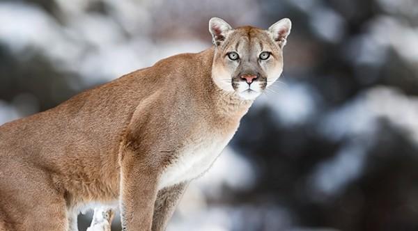 美國魚類和野生動物管理局29日將東部美洲獅從聯邦瀕臨絕種動物名單中移除。(圖擷自uproxx)