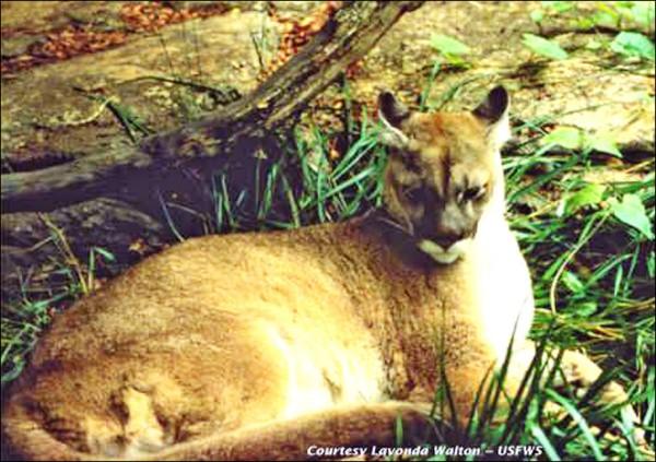 八十年來不曾現蹤,東部美洲獅被滅絕。(圖取自維基百科)