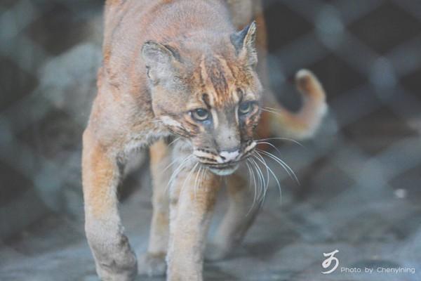 全球動物園唯一一隻華南金貓日前過世,由於在野外已多年不見其蹤影,華南金貓恐滅絕。(圖擷自微博)
