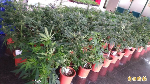 美國加州「娛樂性大麻」正式合法化後,昨日舊金山地方檢察官辦公室宣布將為以前曾因大麻被定罪的人洗白或覆核。圖為示意圖。(資料照,記者許國楨攝)