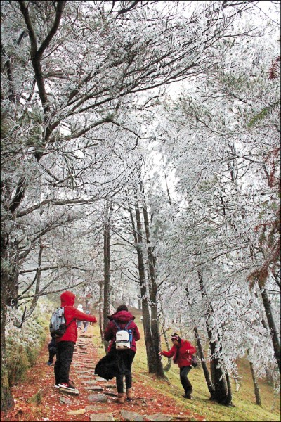 玉山塔塔加雖未下雪,但園區針葉樹都結出霧淞。(玉管處提供)