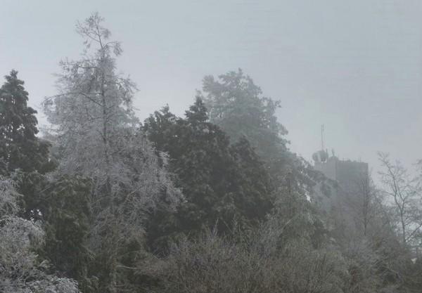 阿里山國家森林遊樂區內的祝山等地,有霧淞覆蓋樹梢。(林務局嘉義林管處提供)