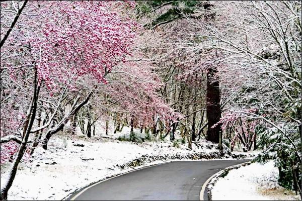 武陵櫻花綻放又飄雪,美如畫。(保七總隊第五大隊提供)