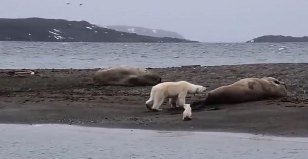 北極熊媽媽帶著小北極熊覓食,看起餓壞了。以為可以飽餐一頓,沒想到徒勞無功。(圖擷取自National Geographic)