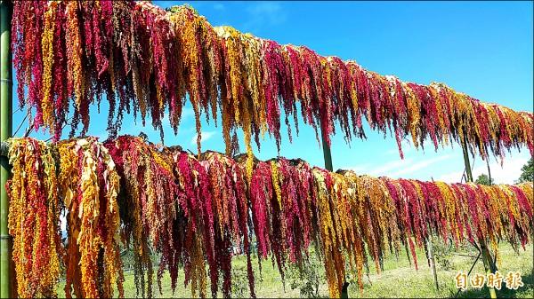 紅藜在暖陽下顯現鮮艷色彩,為新春帶來喜氣。(記者黃明堂攝)