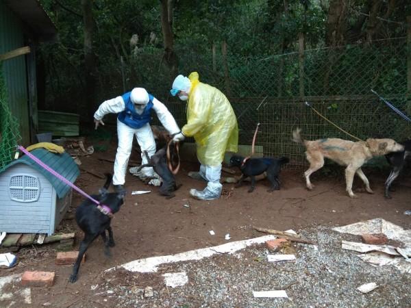 動保處已陸續將207隻犬貓收容、醫治。(新北市動保處提供)