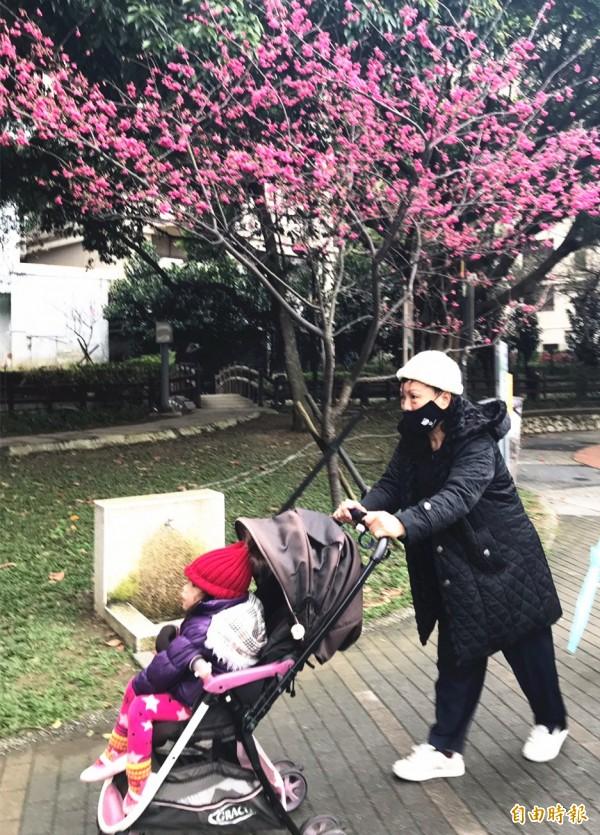 中壢區莒光公園櫻花開好開滿,吸引親子來賞花散步。(記者李容萍攝)