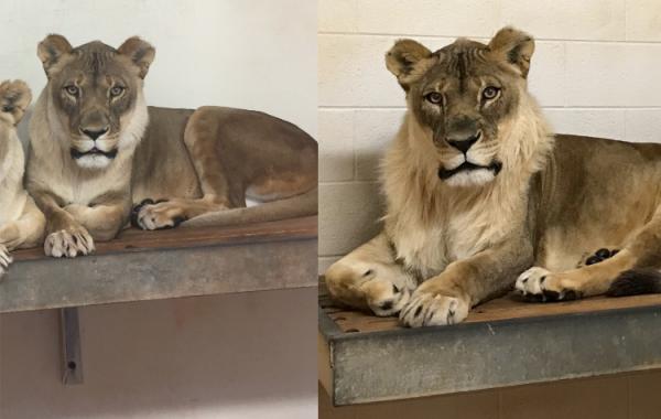 美國奧克拉荷馬市動物園的18歲母獅布莉姬(Bridget),從2017年底開始長出雄獅的鬃毛。(圖擷自美國奧克拉荷馬市動物園臉書粉絲團)