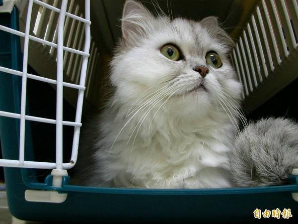 貓咪好可愛,但學生帶牠來上課,老師怎麼辦?實踐大學助理教授蔡亦竹的臉書分享,網友們紛紛讚說「蔡桑超暖男」!示意圖,與新聞事件無關。(記者洪瑞琴攝)