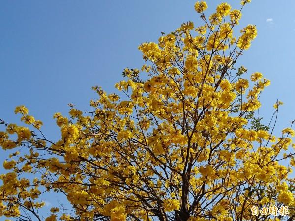 台南裝飾品不是只有「紅綠燈」,還有盛開的黃花風鈴木。(記者洪瑞琴攝)