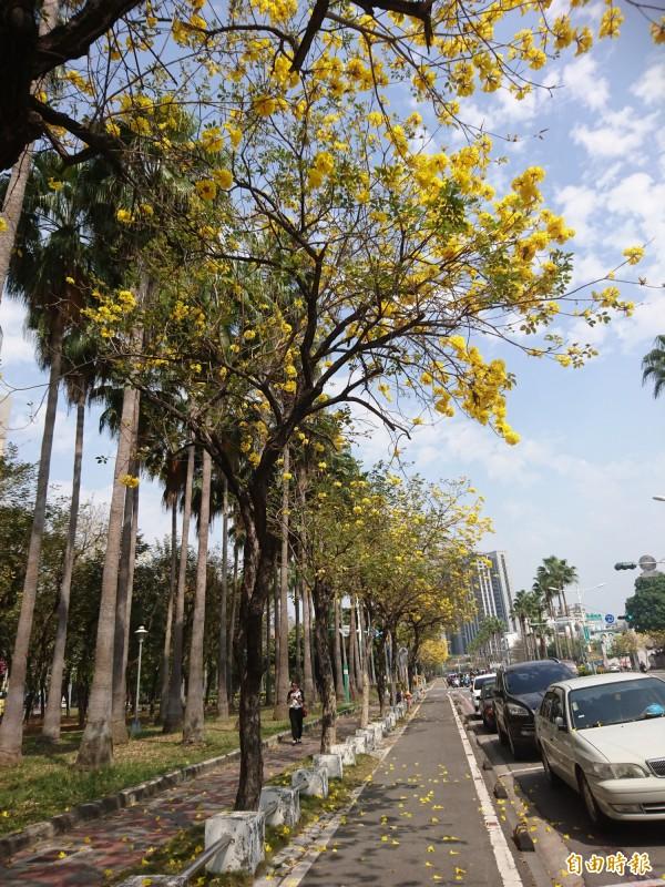 台南市林森路—帶黃花風鈴木盛開,成了金黃色大道。(記者洪瑞琴攝)