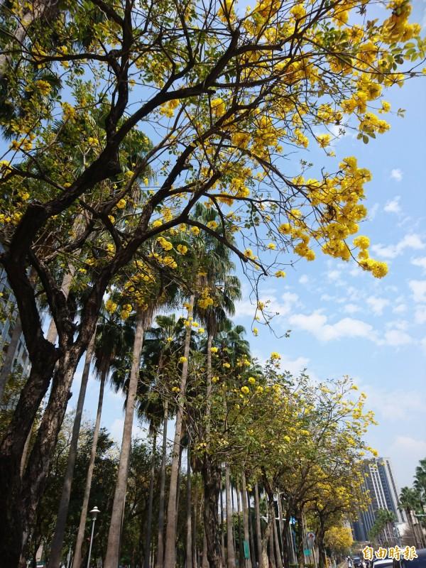 林森路沿路黃澄澄,點綴藍天,搭配綠挺挺高大椰樹很耀眼。(記者洪瑞琴攝)