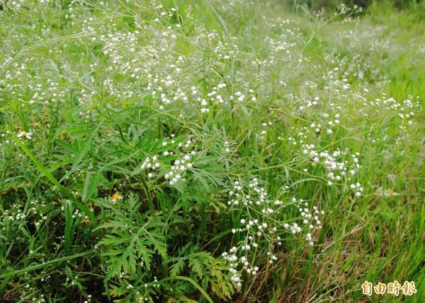 觸碰銀膠菊會引起過敏反應。(資料照)