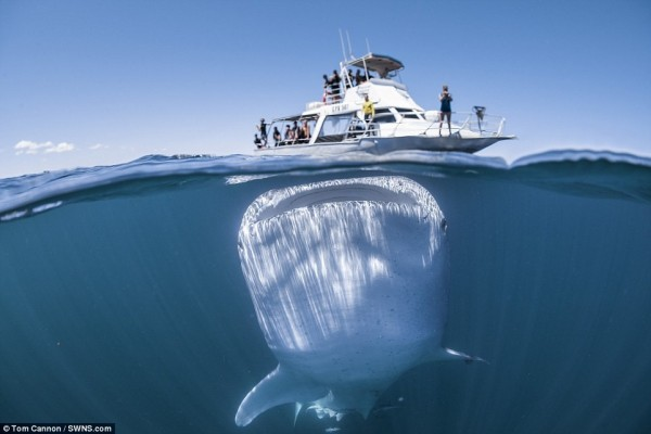 賞鯨船的遊客都在船上張望海面上是否有鯨豚類身影,但其實在船正下方,有條巨大的鯨鯊好奇地對他們張望。(圖擷取自每日郵報)