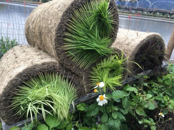 宜蘭綠色博覽會今年在合鴨米水田上規劃彩繪稻田,用不同顏色水稻為水田拼出色彩。(記者張議晨翻攝)
