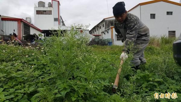 台東林管處關山工作站派員協助出現在關山鎮街上的銀膠菊。(記者王秀亭攝)