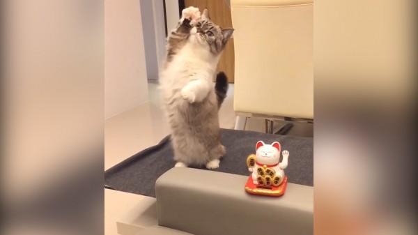 超愛撒嬌的曼切堪貓Pooky,這次跟招財貓爭寵一起揮手,可愛度爆表。(圖片由littlemunchiepooky授權提供使用)