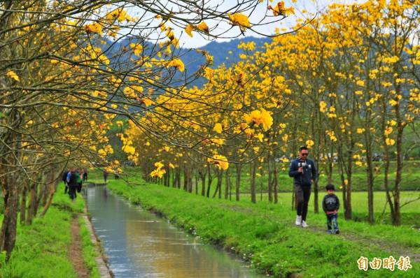 花蓮光復鄉的台糖有機米田區旁,百年歷史的興泉圳兩邊栽種黃花風鈴木,最近盛開成一條黃金河。(記者花孟璟攝)