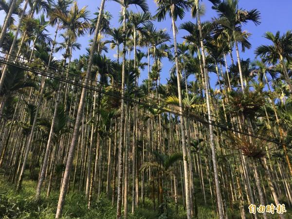 為降低國內檳榔種植面積,農委會2013年至2017年辦理檳榔廢園及轉作計畫,每公頃最高補助25萬元,去年台塑加碼補助每公頃20萬元,古坑申請件數暴增。(記者黃淑莉攝)