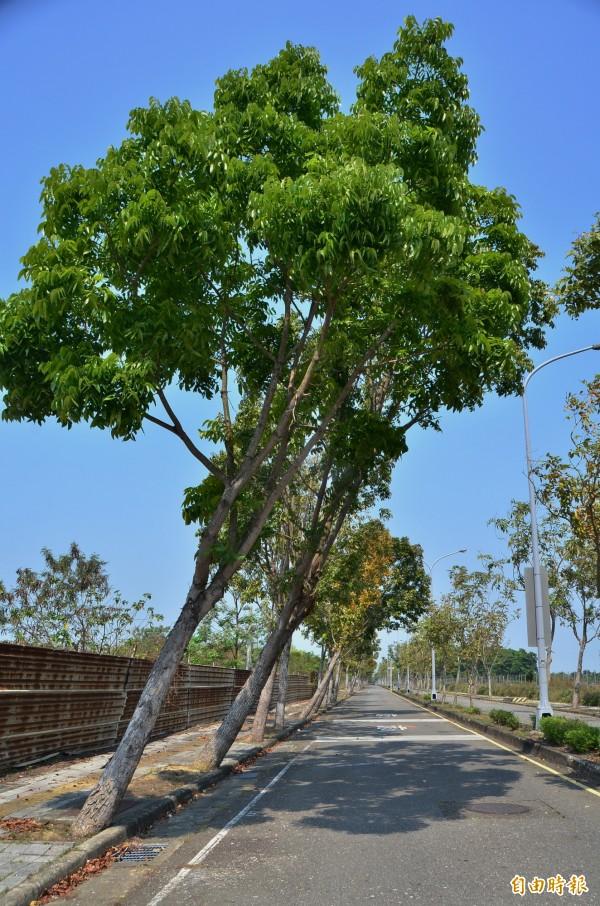 桃花心木在蘇迪勒颱風時往東側傾斜,3年前至今都沒有扶正。(記者吳俊鋒攝)