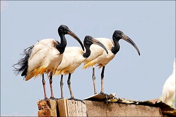 埃及聖䴉近年在台繁殖數量倍增,在無效防治下恐危及本土鷺科生態。(中華野鳥學會提供)
