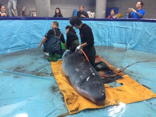 一隻小抹香鯨昨天上午在新北市金山擱淺,緊急送到關渡國小救護。(中央社)
