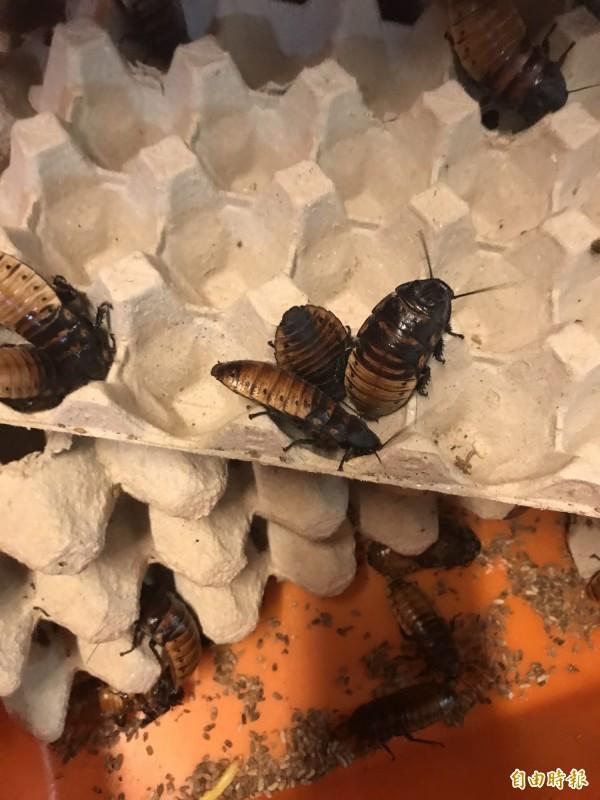蟑螂示意圖。(資料照)