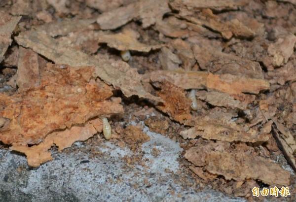 科學家基因研究,指白蟻(圖)是從蟑螂演化而來。(資料照)