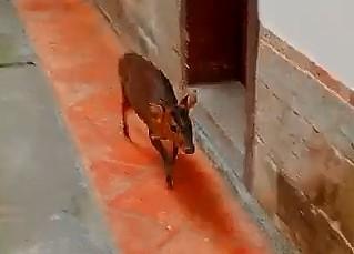 昨天下午有隻保育類山羌衝入百年古蹟慈天宮裡。(擷取自廟方影片)