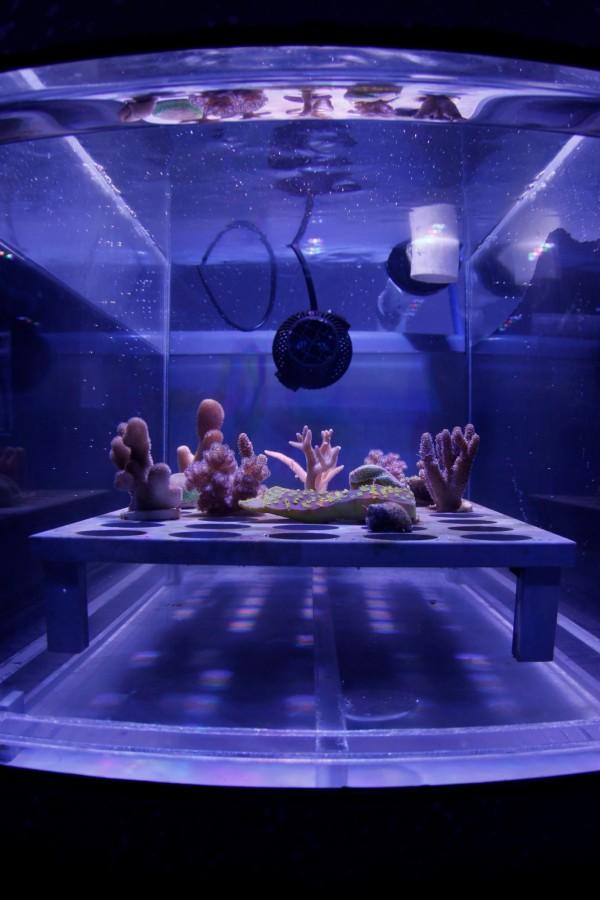 今日澳大利亞大堡礁基金會宣布,研發出一種可分解的「遮陽膜」,可有效阻擋約30%的陽光照射,避免珊瑚白化現象。(法新社)