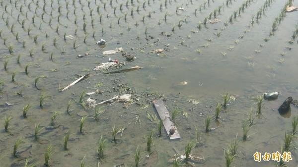西濱公路施工垃圾堵排水管噴出,農民剛插秧苗遭殃。(記者蔡政珉攝)