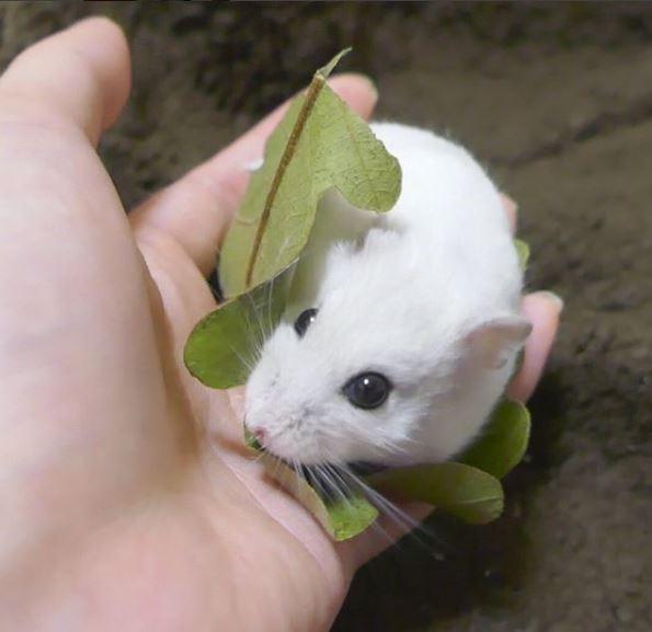偽裝成點心的倉鼠,簡直可愛到不行啊!(團片由mnmnmnmnii授權提供使用)