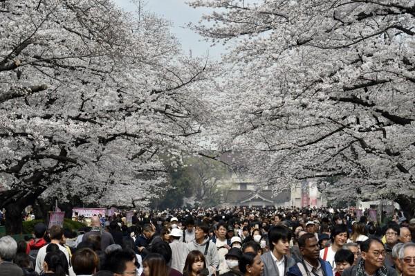 日本東京都台東區上野恩賜公園近來櫻花綻放,許多日本民眾利用閒暇之餘到此處遊憩、賞櫻。(歐新社)