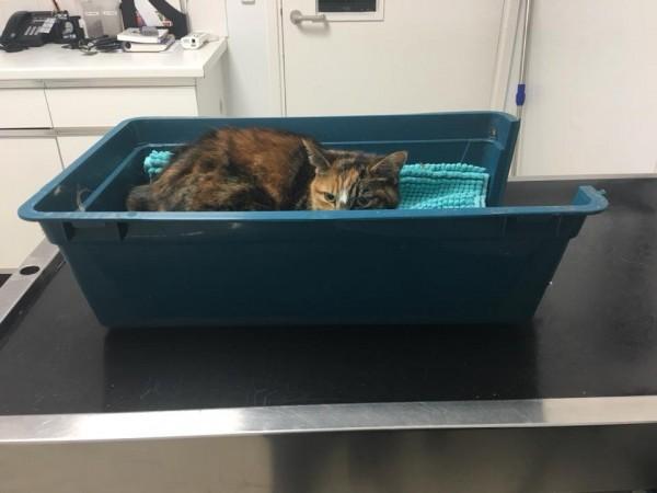 養過貓的「貓奴」們都知道,貓咪的腸胃不比人類,許多食物人類吃了無傷大雅,貓咪吃了卻可能直接要了他們的命。(圖翻攝自Juliet Chidlow Facebook)