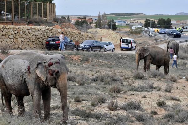 車禍發生後,倖存的大象滿身是血站在路邊。(美聯社)