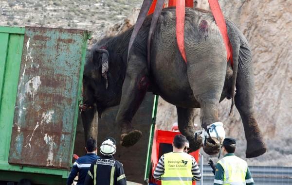 受傷的大象被起重機吊上卡車,送到動物醫院治療。(歐新社)