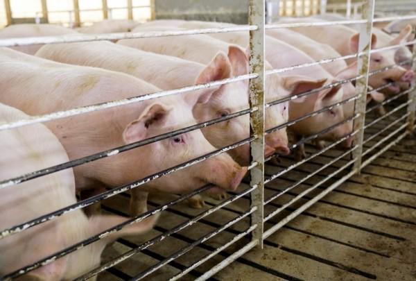 中國對美國豬肉進口產品課徵25%關稅,使得買下維吉尼亞州全球最大豬肉生產商史密斯菲爾德食品公司的中國萬洲國際,股價崩跌11%。(美聯社)