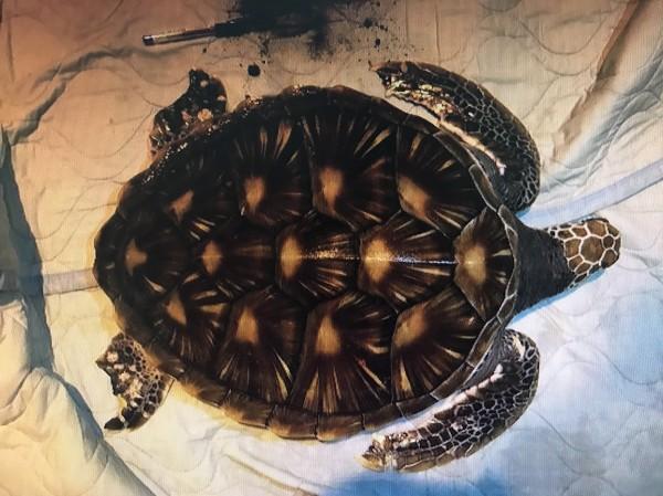 新竹縣新月沙灣岸邊昨晚有隻海龜擱淺,到場搶救的海巡人員拍照詢問專家後,確認是保育類的綠蠵龜。(圖由第8海岸巡防總隊提供)